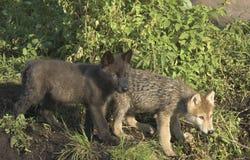 cubs волк Стоковая Фотография
