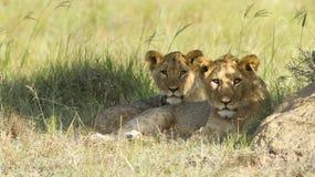 cubs детеныши льва Стоковая Фотография