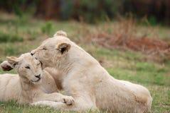 cubs играть льва Стоковые Фото