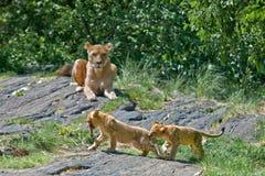 cubs игра льва Стоковая Фотография