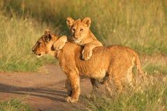 cubs львев Стоковое Изображение