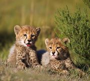Cubs. Two cheetah cubs resting on the plains after a meal Royalty Free Stock Image