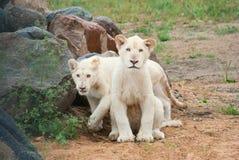 Cubs bianchi del leone (P. Leo) Fotografia Stock