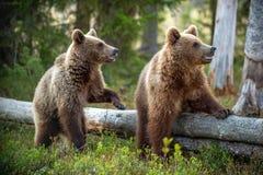Cubs of Brown Bear in the summer forest. Natural habitat. Scientific name: Ursus arctos.  stock photos