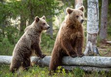Cubs of Brown Bear in the summer forest. Natural habitat. Scientific name: Ursus arctos.  stock images