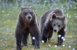 Cubs of Brown bear  in the summer forest. Cubs of Brown bear Ursus Arctos in the summer forest. Natural green Background Royalty Free Stock Photos