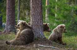 Cubs of Brown bear. Ursus Arctos Arctos Royalty Free Stock Photography