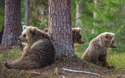 Cubs of Brown bear. Ursus Arctos Arctos Royalty Free Stock Image