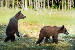 Cubs of Brown bear (Ursus Arctos Arctos) in the summer forest. Natural green Background Stock Photography