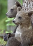 Cubs of Brown bear Ursus Arctos Arctos. In the summer forest. Natural green Background Stock Images