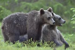 Cubs of Brown bear. Cubs of Brown bear Ursus Arctos Arctos in the summer forest. Natural green Background Stock Photography