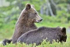 Cubs of Brown bear Ursus Arctos Arctos. In the summer forest. Natural green Background Royalty Free Stock Photos