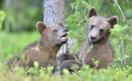 Cubs of Brown bear Ursus Arctos Arctos. Cubs of Brown bear Ursus Arctos Arctos in the summer forest. Natural green Background Stock Photo