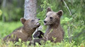 Cubs of Brown bear Ursus Arctos Arctos. Cubs of Brown bear Ursus Arctos Arctos in the summer forest. Natural green Background Stock Photo