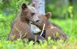 Cubs of Brown bear Ursus Arctos Arctos in the summer forest. Natural green Background Royalty Free Stock Images