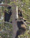 Cubs of Brown Bear (Ursus arctos) on a pine tree Stock Photos
