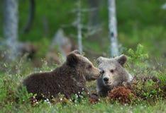 Cubs of Brown Bear (Ursus arctos) Royalty Free Stock Photos