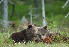 Cubs of Brown bear. (Ursus Arctos) in the summer forest. Natural green Background Stock Image