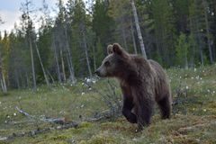 Cubs of Brown bear (Ursus Arctos) in the summer forest. Royalty Free Stock Images