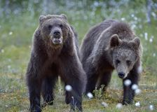 Cubs of Brown bear Ursus Arctos. In the summer forest. Natural green Background Stock Photo