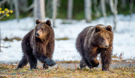 The cubs of brown bear Stock Image
