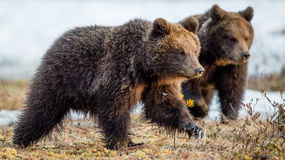 The cubs of brown bear Royalty Free Stock Photography