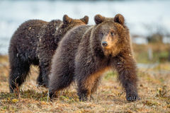 The cubs of brown bear Stock Images