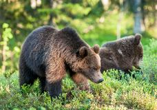 Cubs of Brown bear (Ursus Arctos Arctos) in the summer forest Royalty Free Stock Photos