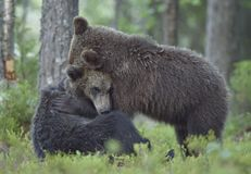 The Cubs of Brown bears playfully fighting. The Cubs of Brown bears Ursus Arctos Arctos playfully fighting, The summer forest. Natural green Background Royalty Free Stock Photo