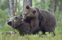 The Cubs of Brown bears playfully fighting. The Cubs of Brown bears Ursus Arctos Arctos playfully fighting, The summer forest. Natural green Background Stock Image