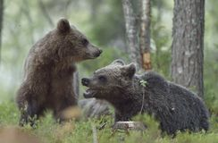 The Cubs of Brown bears playfully fighting. The Cubs of Brown bears Ursus Arctos Arctos playfully fighting, The summer forest. Natural green Background Royalty Free Stock Images