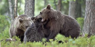 The Cubs of Brown bears playfully fighting. The Cubs of Brown bears Ursus Arctos Arctos playfully fighting, The summer forest. Natural green Background Royalty Free Stock Photos