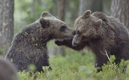 The Cubs of Brown bears playfully fighting Royalty Free Stock Images