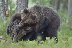 The Cubs of Brown bears playfully fighting Royalty Free Stock Photography