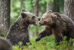 The Cubs of Brown bears (Ursus Arctos Arctos)  playfully fighting. The summer forest. Natural green Background Stock Photos