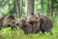 The Cubs of Brown bears (Ursus Arctos Arctos)  playfully fighting. The summer forest. Natural green Background Stock Image