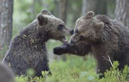 The Cubs of Brown bears Ursus Arctos Arctos playfully fighting. The summer forest. Natural green Background Stock Photo
