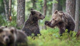 The Cubs of Brown bears (Ursus Arctos Arctos)  playfully fighting Royalty Free Stock Images