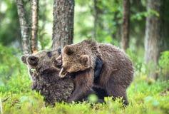 The Cubs of Brown bears (Ursus Arctos Arctos)  playfully fighting Stock Photo