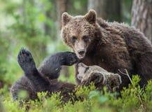 The Cubs of Brown bears (Ursus Arctos Arctos)  playfully fighting Stock Images