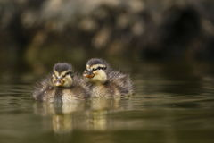 Cubs de canard sauvage Images stock