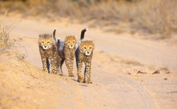 Cubs del ghepardo (jubatus del Acinonyx) Fotografia Stock