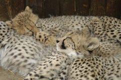 Cubs del ghepardo (jubatus di Acinonux), Sudafrica Immagini Stock