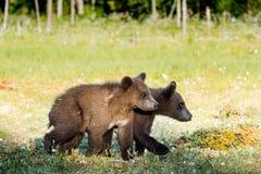 Cubs del oso de Brown y de x28; Ursus Arctos& x29; imagen de archivo libre de regalías