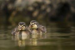 Cubs del pato salvaje Imagenes de archivo