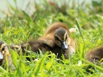 Cubs del pato salvaje Imagen de archivo libre de regalías