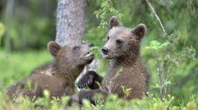 Cubs del Ursus Arctos Arctos del oso de Brown foto de archivo