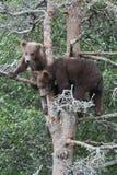 Cubs dell'orso grigio in albero Immagine Stock