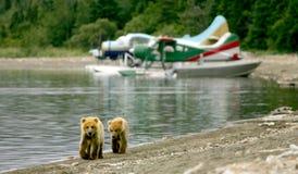 Cubs dell'orso grigio ed aerei del galleggiante Fotografia Stock Libera da Diritti