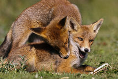 Cubs delle volpi rosse Fotografia Stock